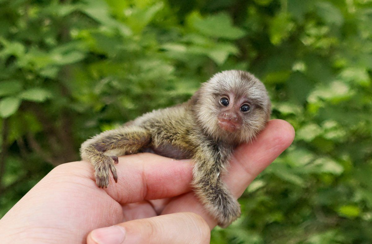 Best Places to See Baby Animals (PHOTOS) Pygmy marmoset