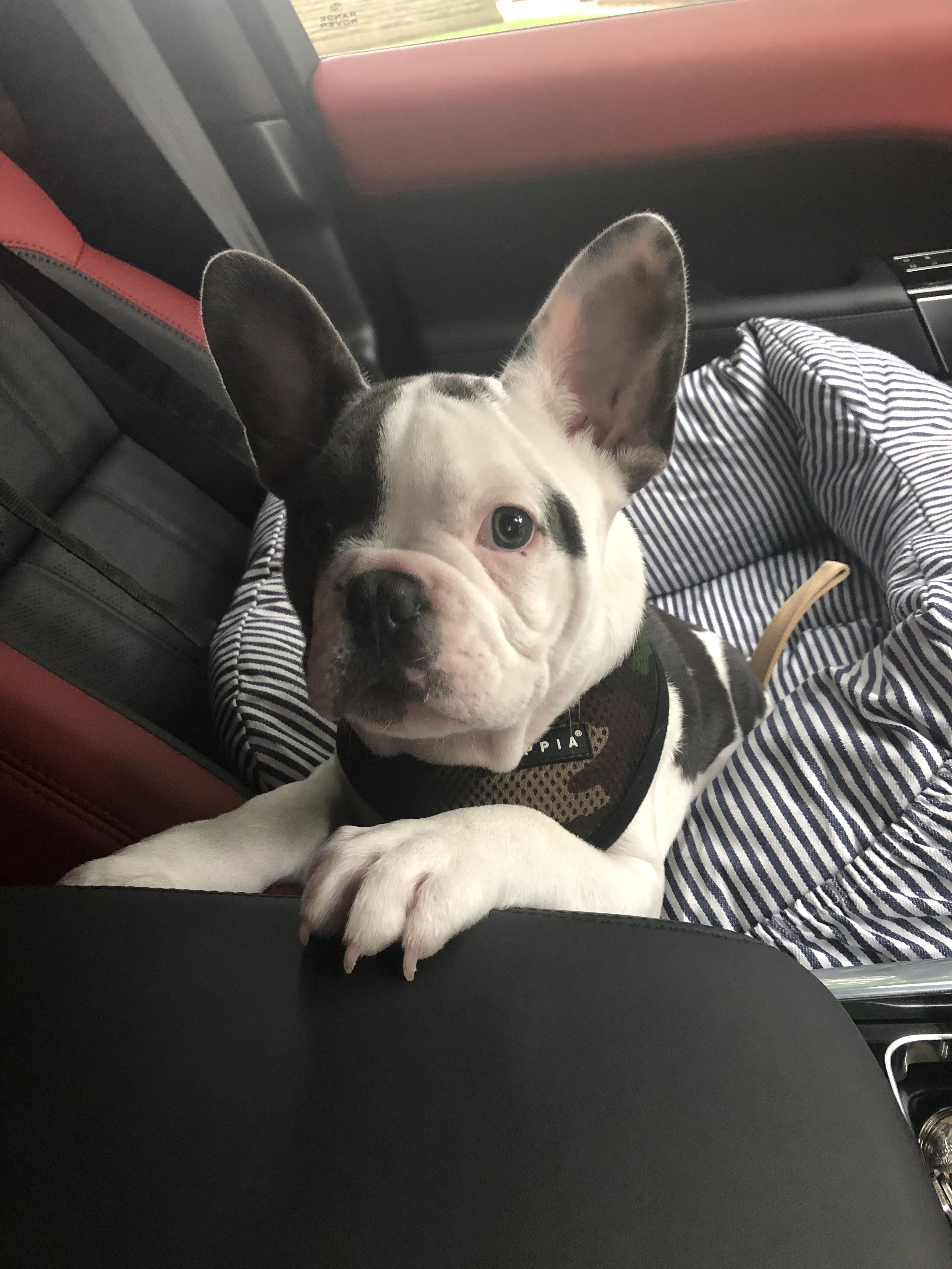 Pin by lj53lou on Frenchie cuteness Boston terrier
