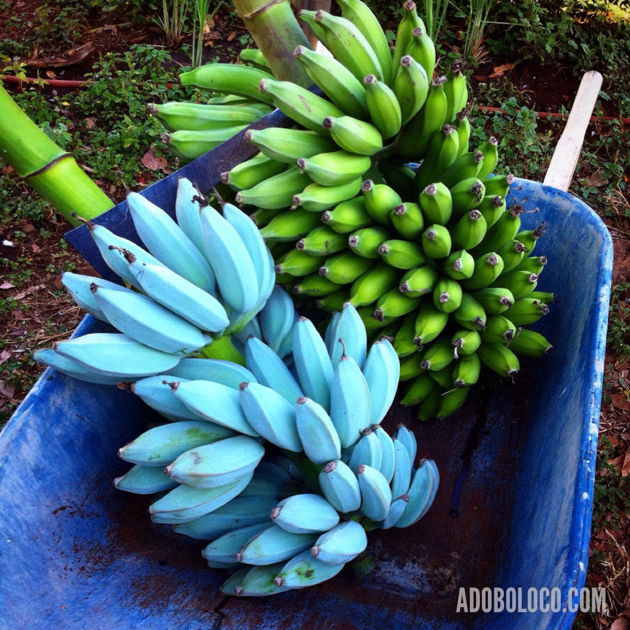 Blue Java Banana The Blue Java Is A Hardy Cold Tolerant Banana Cultivar Known For Its Sweet Aromatic Fruit Which Is Sai Banana Plants Fruit Trees Fruit Garden