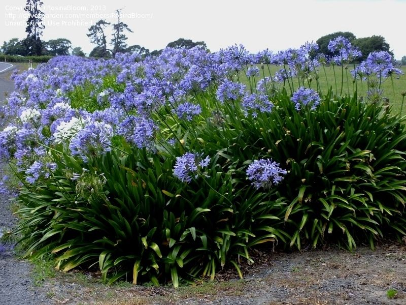 Full Size Picture Of Lily Of The Nile African Lily I Agapanthus Africanus I Agapanthus Africanus Agapanthus African Lily