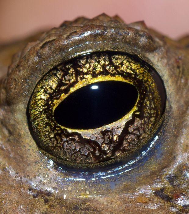 Le remarquable oeil de l'amphibien Incilius alvarius