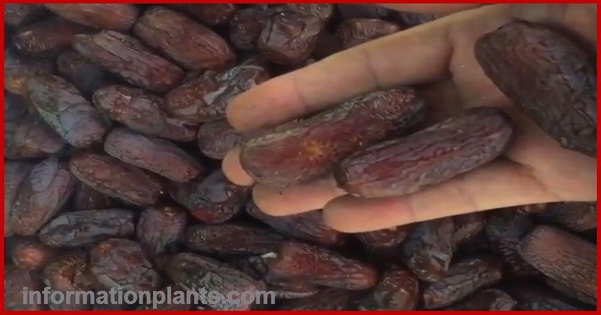 تمر العنبرة او العنبري قسم التمور مع الصور قسم التمور انواع الاسماك مع الصور معلوماتية نبات حيوان اسماك فوائد Tmr Sausage Food