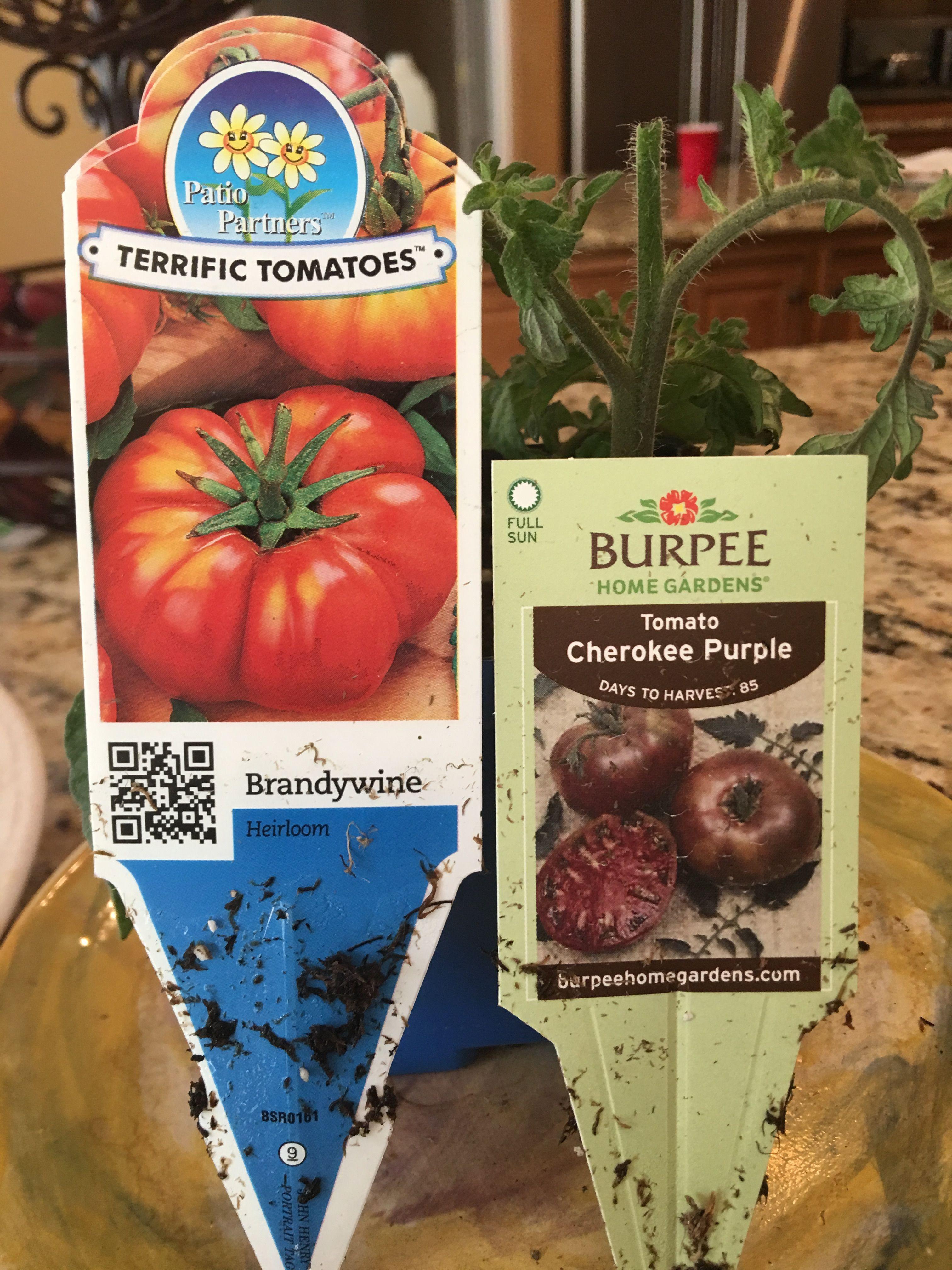 Pin By Lavern Clarke On Garden Tomato Garden Cherokee Purple Purple Day