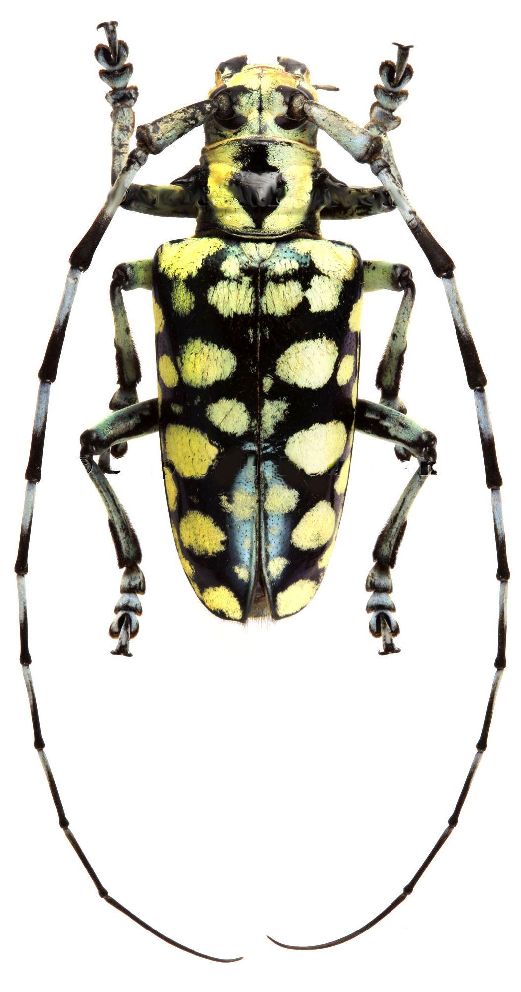 anoplophora birmanica  genus of asian longhorn beetles