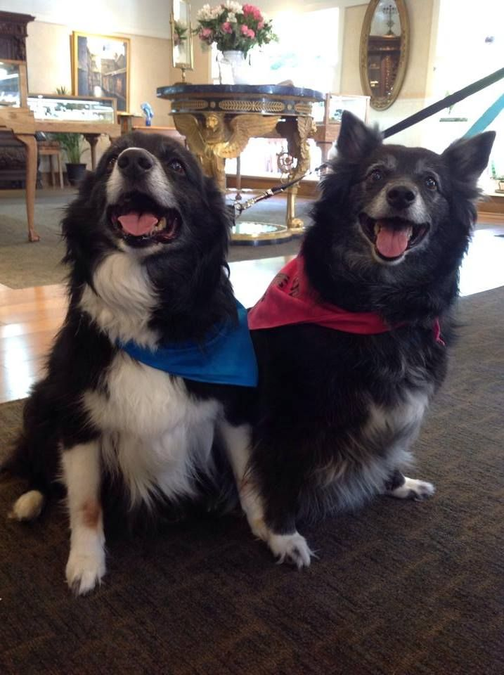 Sinba Kiera Are Australianshepard They Came Into The Store With Their Foster Parents Bill An Rescue Dogs Pet Adoption Foster Parenting