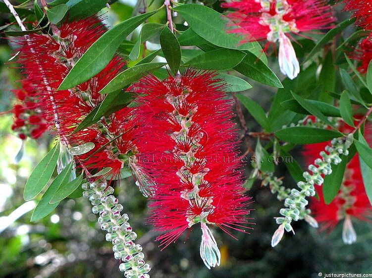 Callistemon-viminalis.  Common name: Red Bottle brush.  File# 7043
