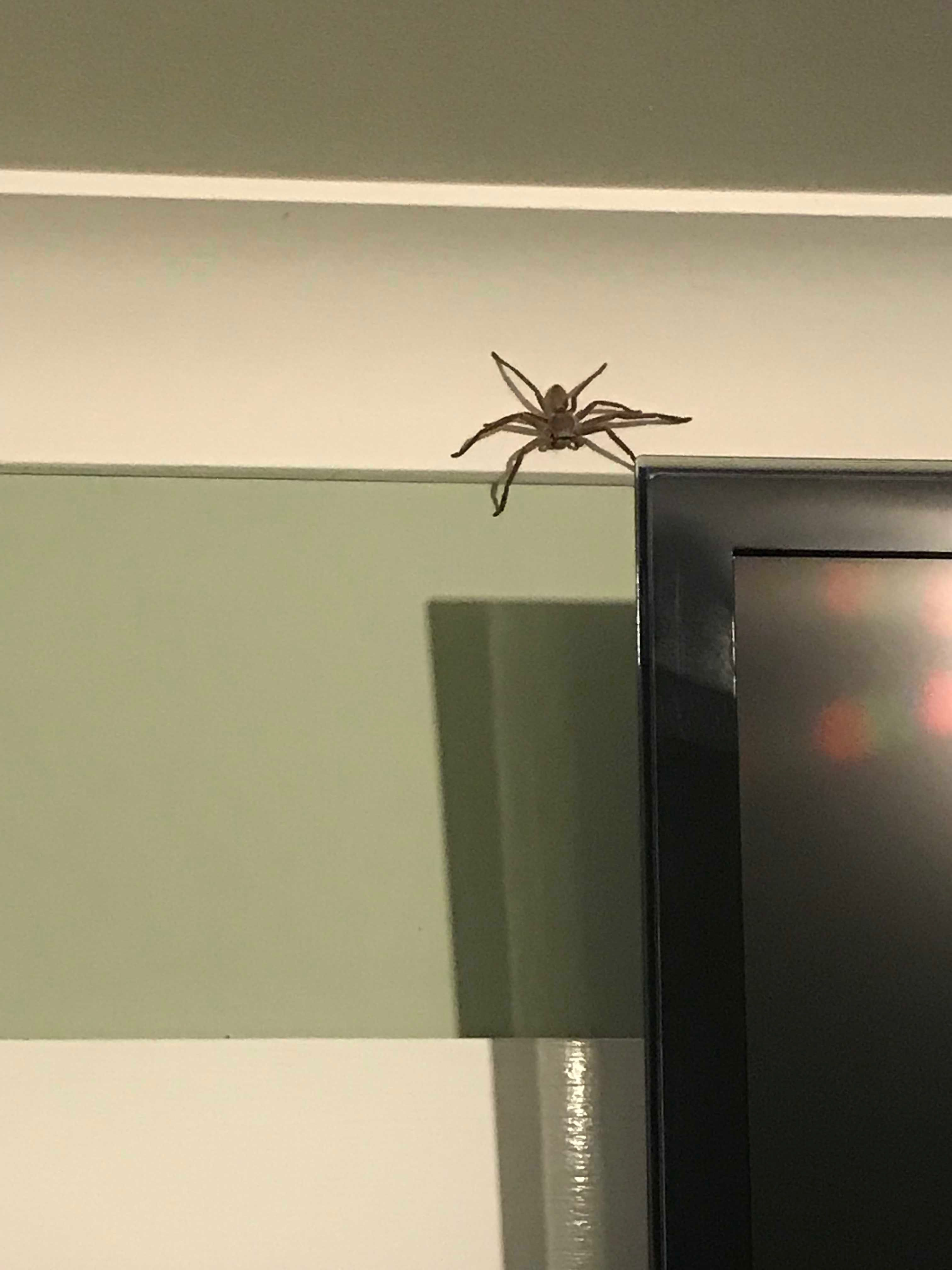 Huntsman on the bedroom wall next to the TV. I have been