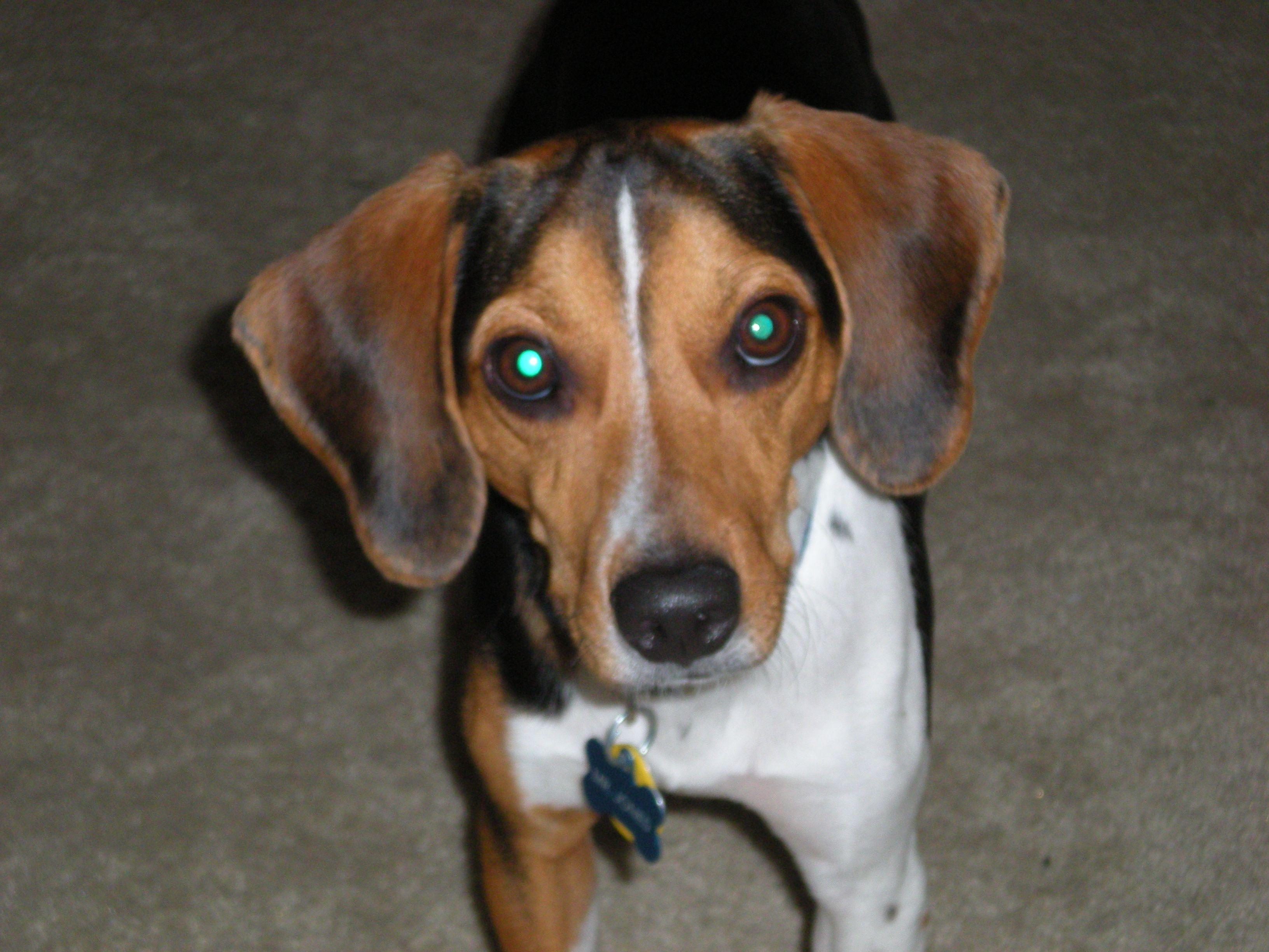 Doxle Dachshund Beagle Dachshund Mix Dachshund Dachshund Dog