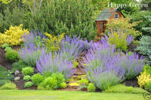 Details About Catmint Catnip 600 Seeds Nepeta Mussinii