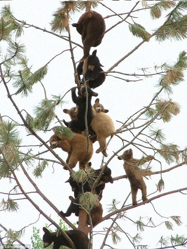 An astonishing gathering of 11 young bear cubs sitting precariously in a tree!