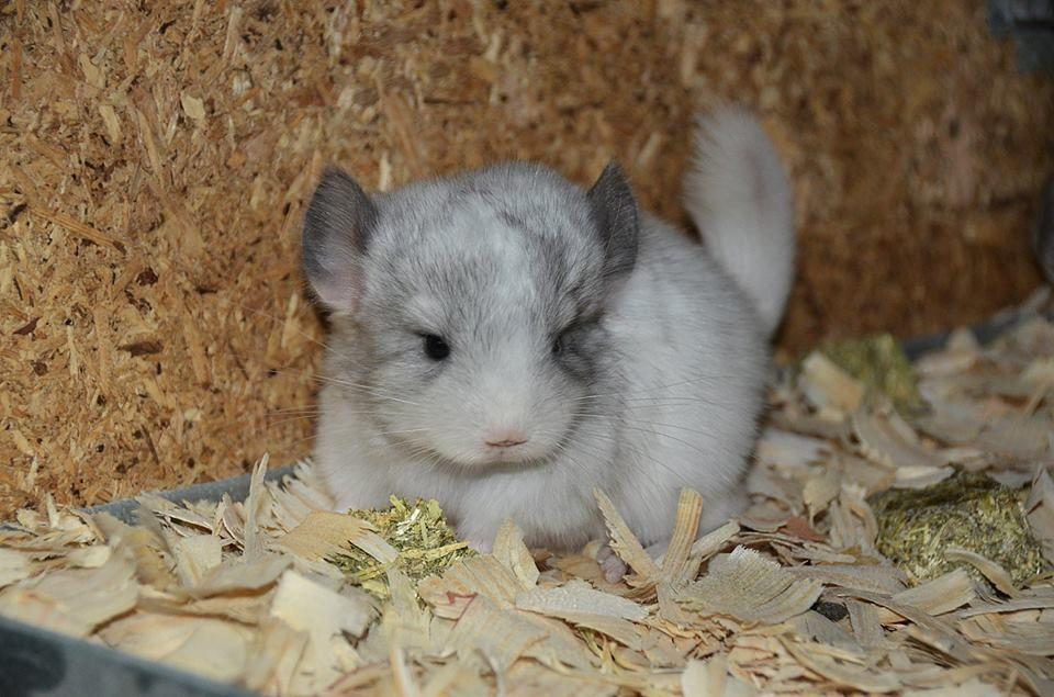 Sweet Baby Chinchilla Awwwwwwww Chinchilla Chinchillas