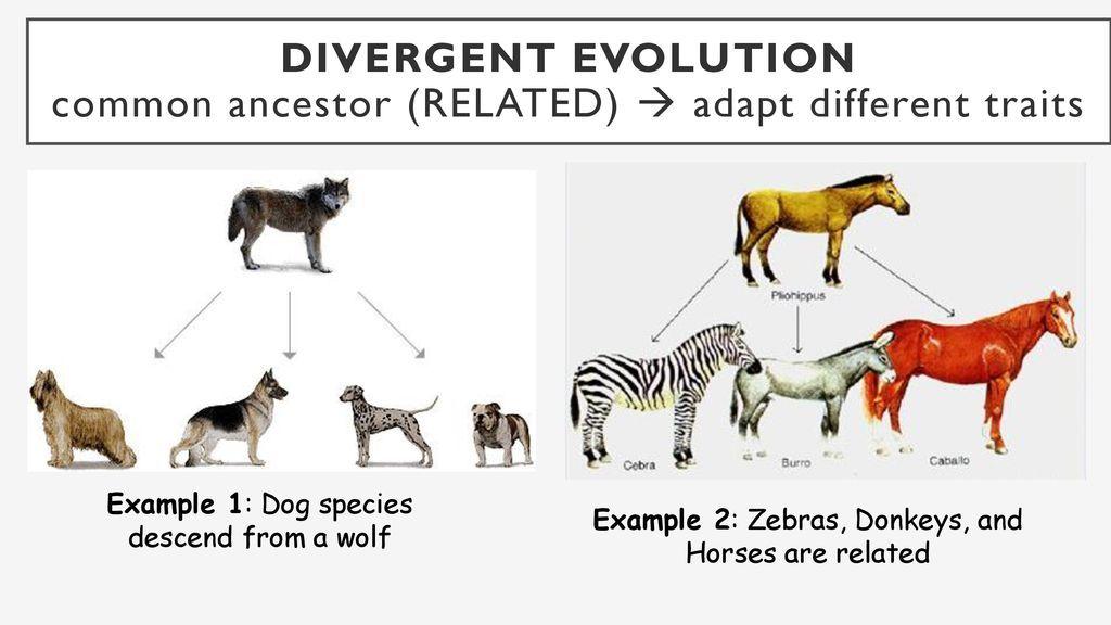 Divergent Evolution Divergent Convergent Evolution