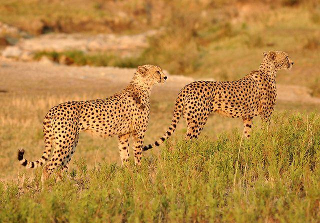 Funny Wildlife Two Cheetah Brothers Serengeti Tanzania By Wild Cats Cheetah Weird Animals