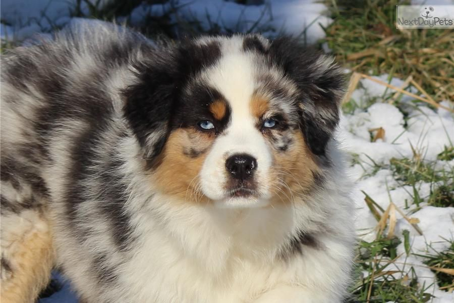 Meet Trinity A Cute Australian Shepherd Puppy For Sale For 1 000