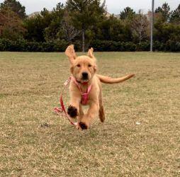 Adopt Marigold Goldie On Golden Retriever Labrador Labrador