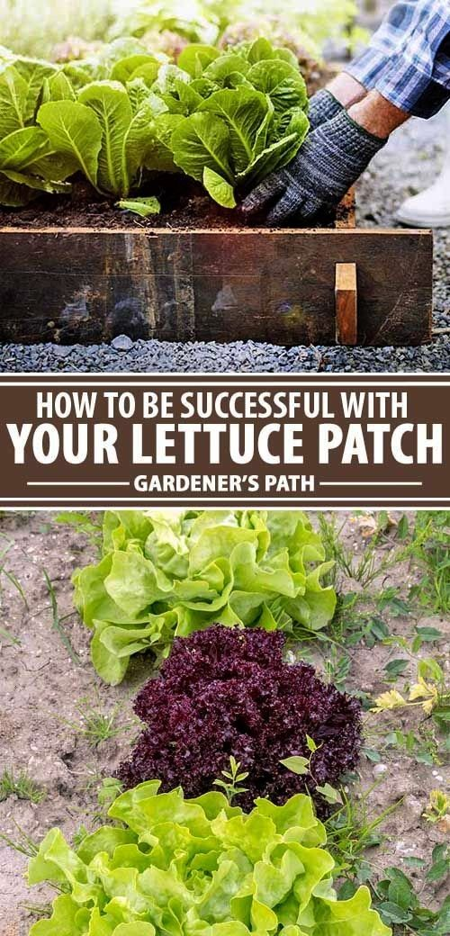 help getting your lettuce patch up to snuff Give our detailed guide a read for the best tips to grow leaf and head types in veggie patches raised beds and containers ever...