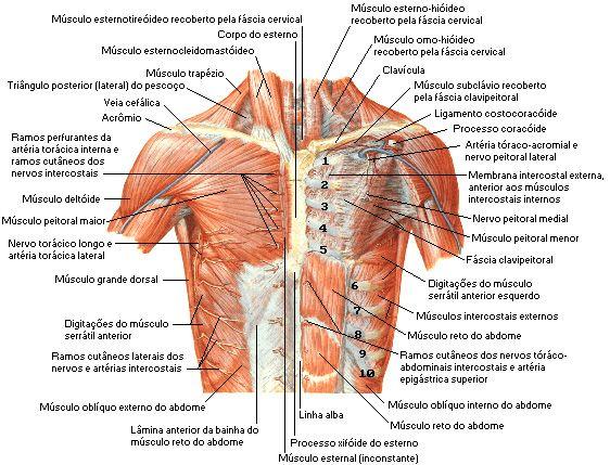 Aula de Anatomia - Sistema Muscular - Tórax http://www ...