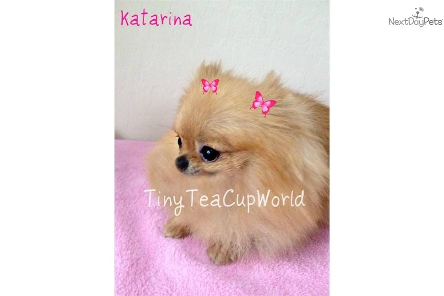 Full grown teacup pomeranian puppies for sale images