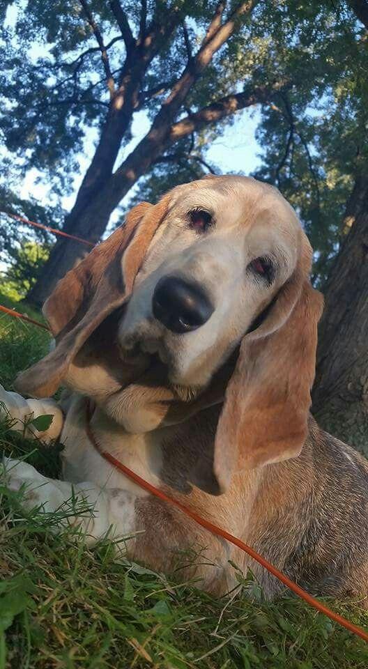 Pin By Bennett S Basset Hounds On Bennett S Basset Hounds Basset Hound Bassett Hound Dog Breeds