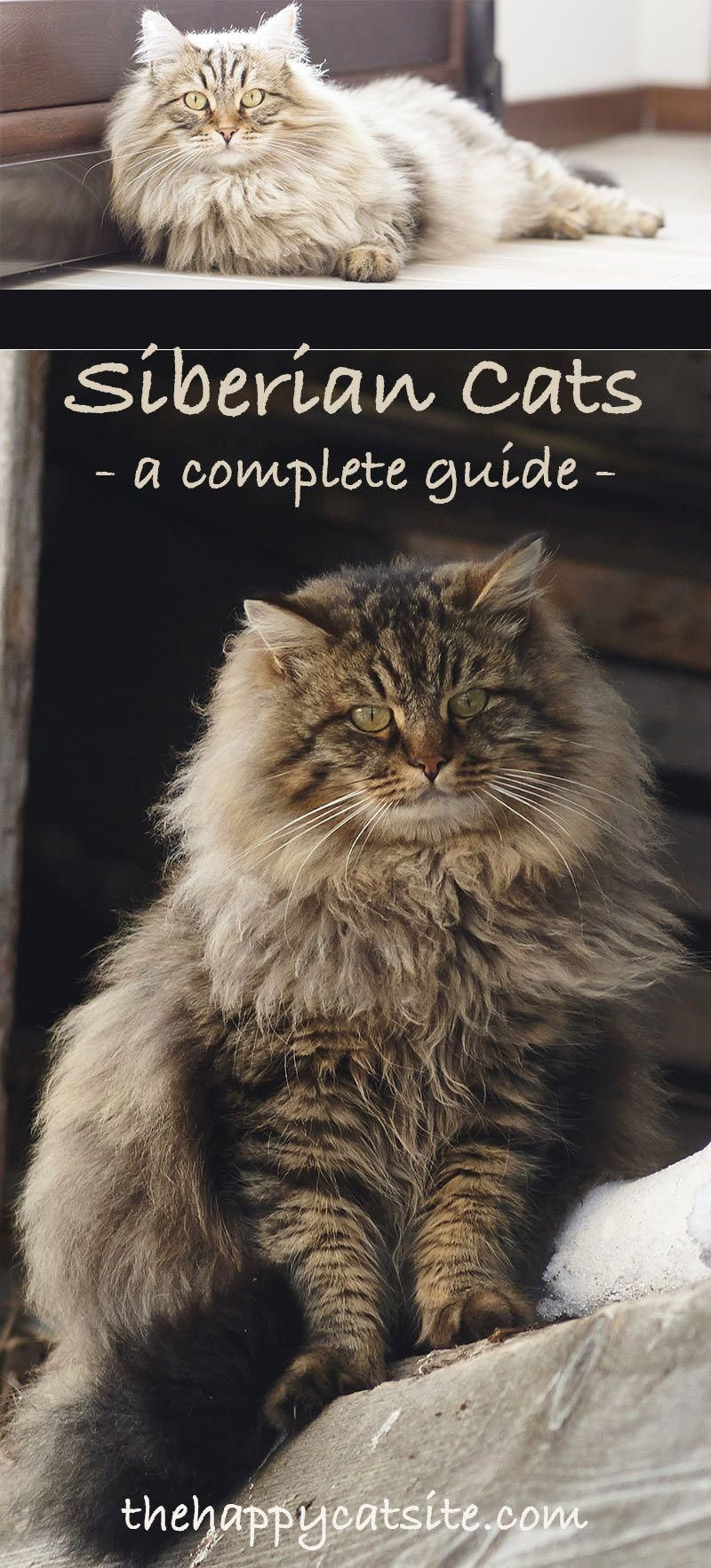 Siberian Cat A Complete Guide to the Unique Siberian