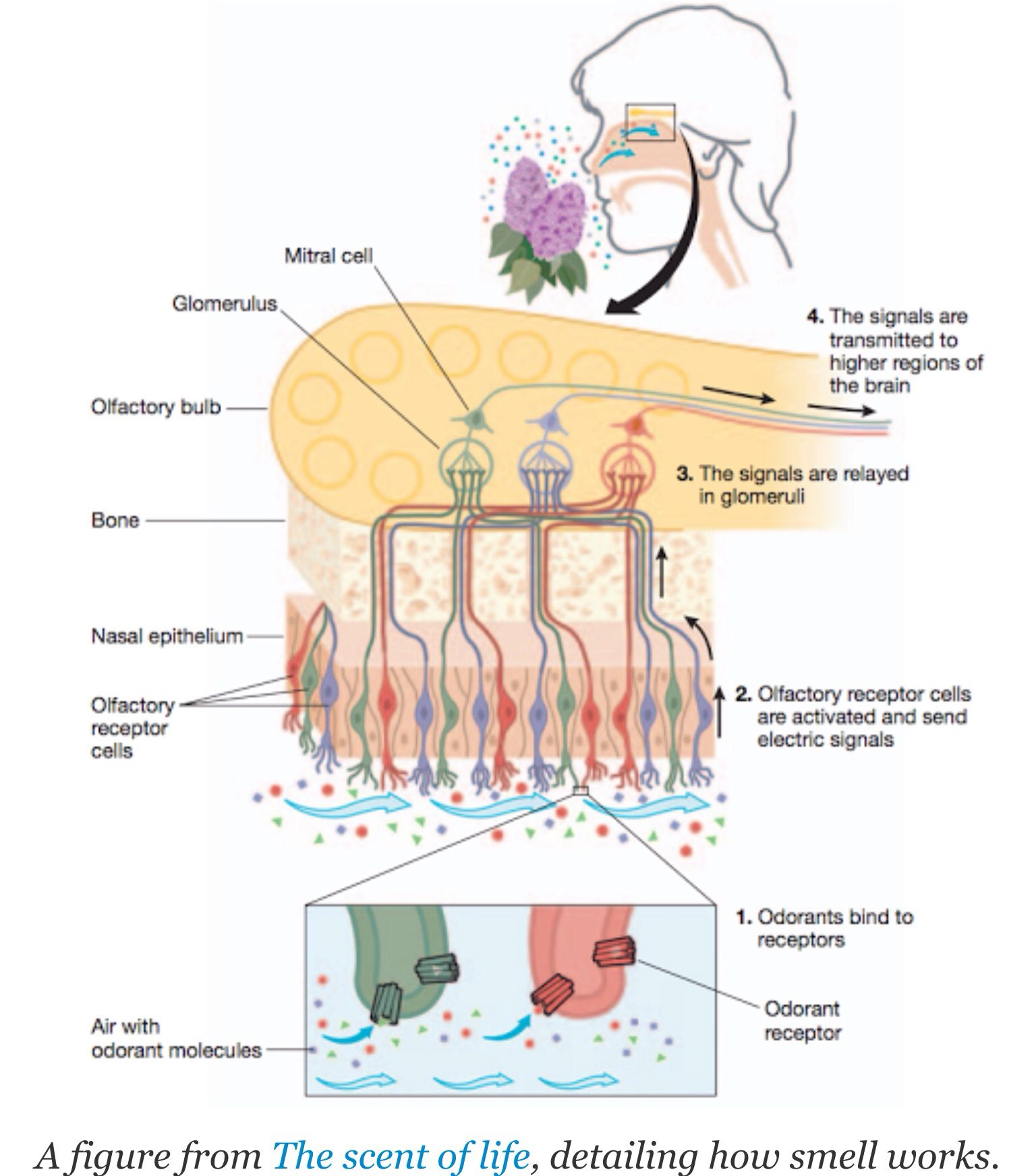 Best diagram of how smell happens I can find. | Anatomy & Physiology ...