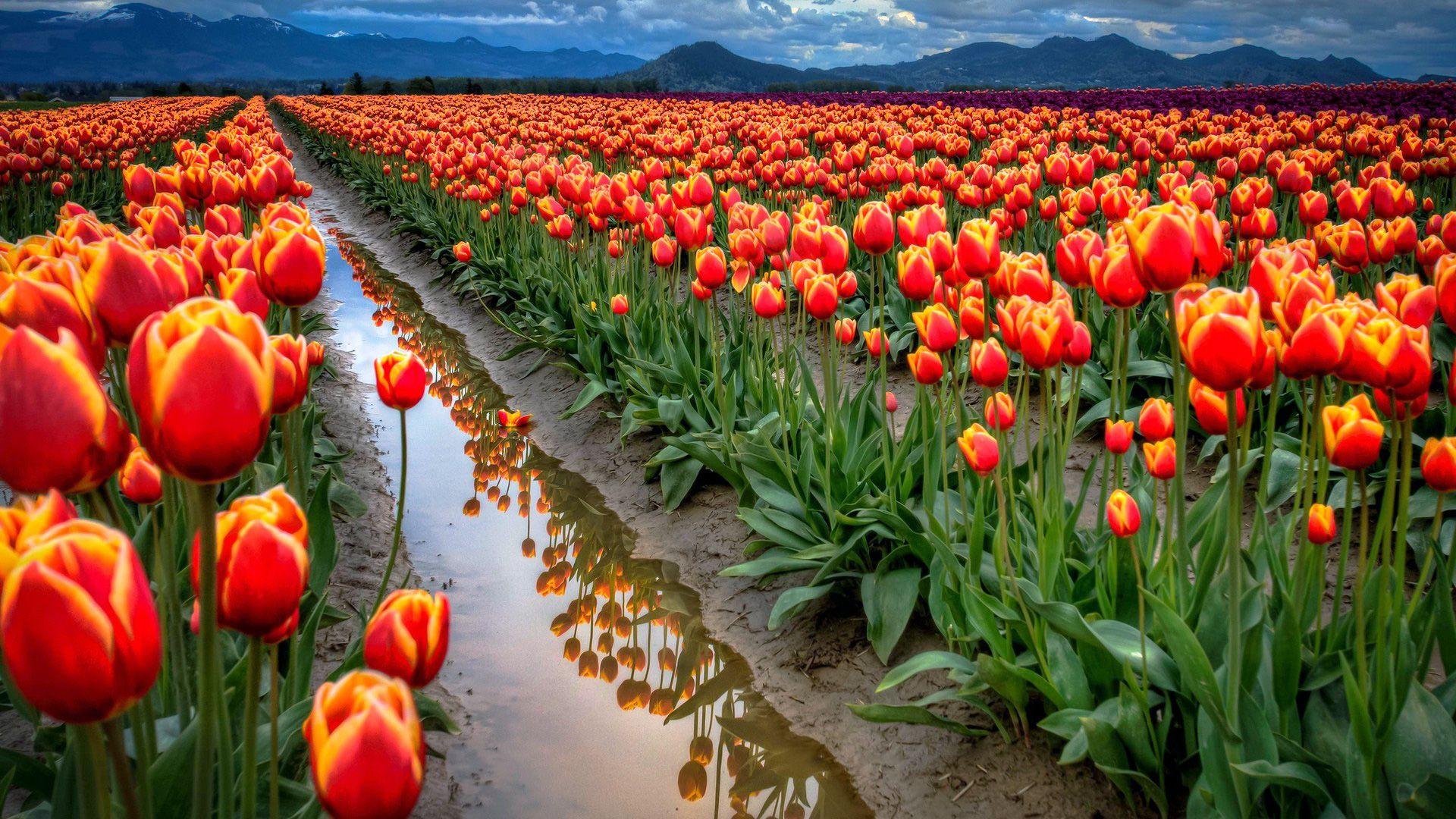 Flowers Desktop Hd Background Walpaper Tulips Flowers Flowers Nature Flower Field