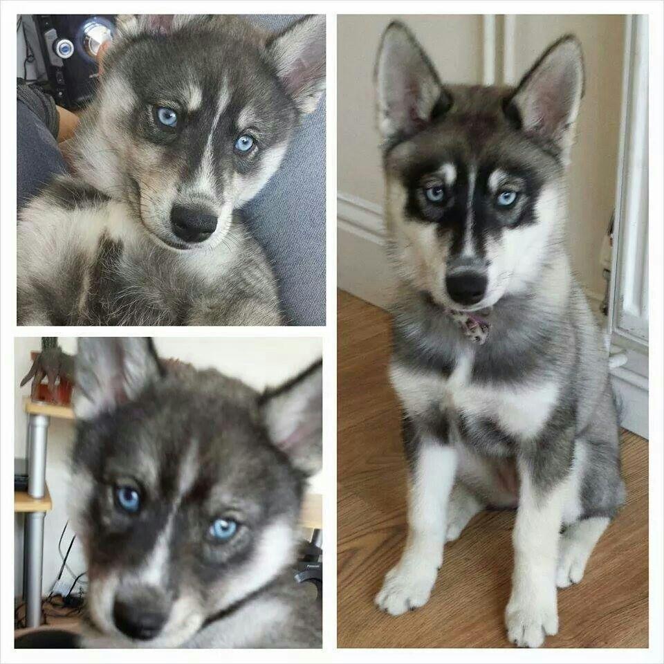 Pin by Liz Baker on puppies | Cute animals, Siberian husky ...