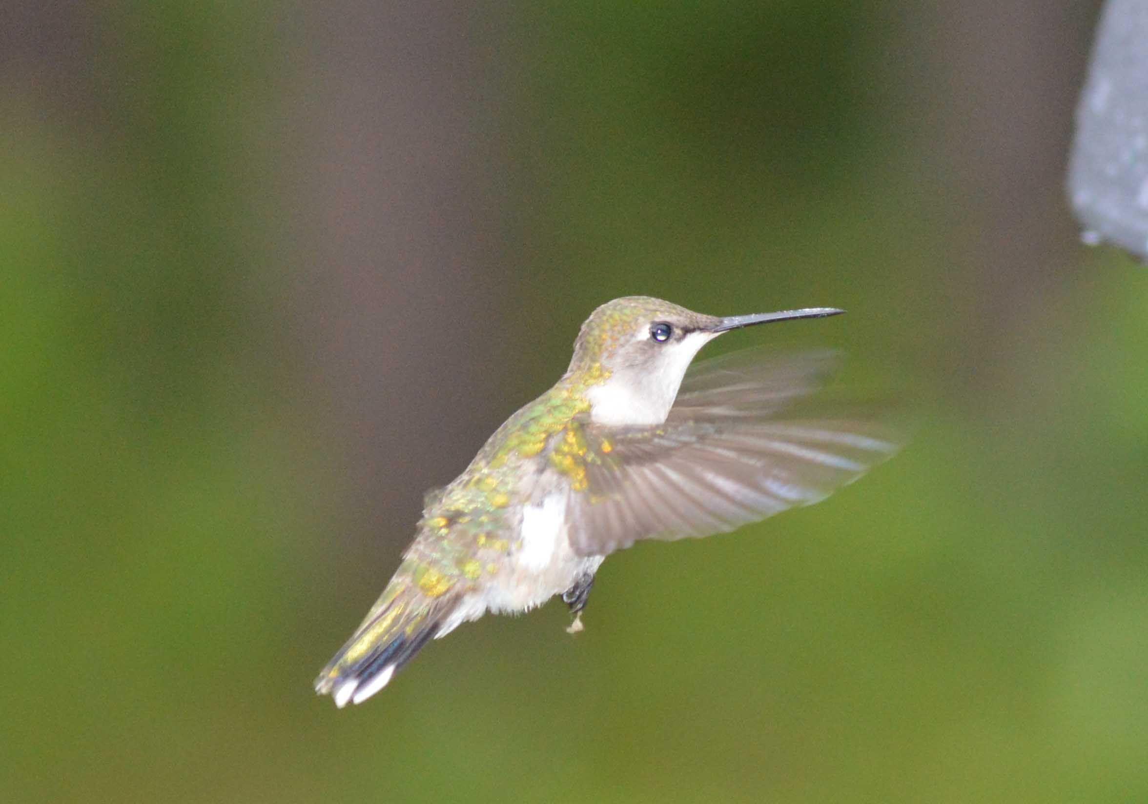 Hummingbird shot with nikon d nikkor mm lens i love