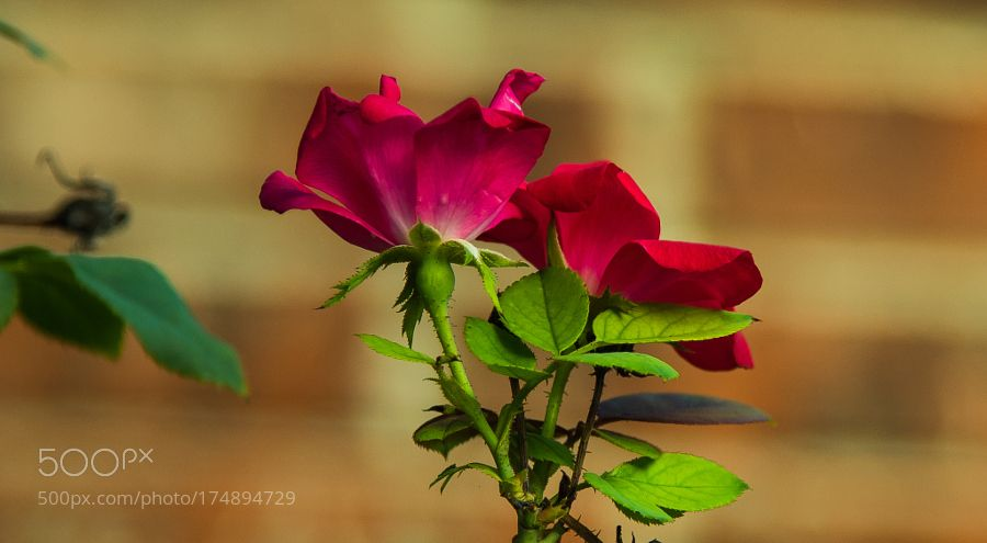 TWIN ROSES!! by srnair47. @go4fotos