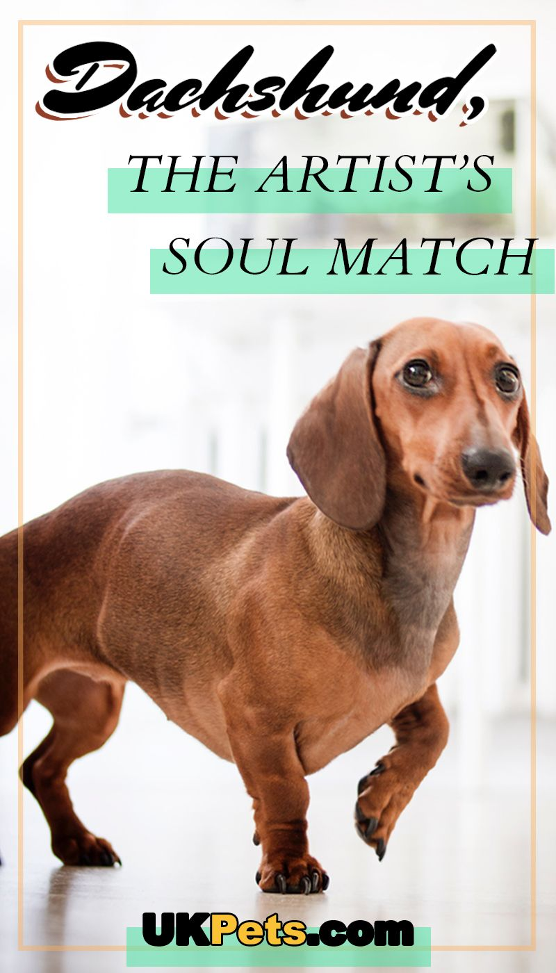 What makes the dachshund's gaze beguiling to artists? Many artists have chosen to have one of these furry companions by their side. #Dachshund #soulmatch #doglove #dogbreed #ukpets