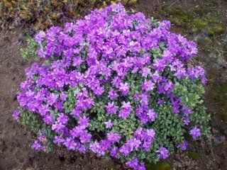 Learn More About Rhododendron U0027Purple Gemu0027 (Azalea)! Read Up On This Plant  Or Stop Into Sunnyside Gardens In Minneapolis To Talk To Our Experts!