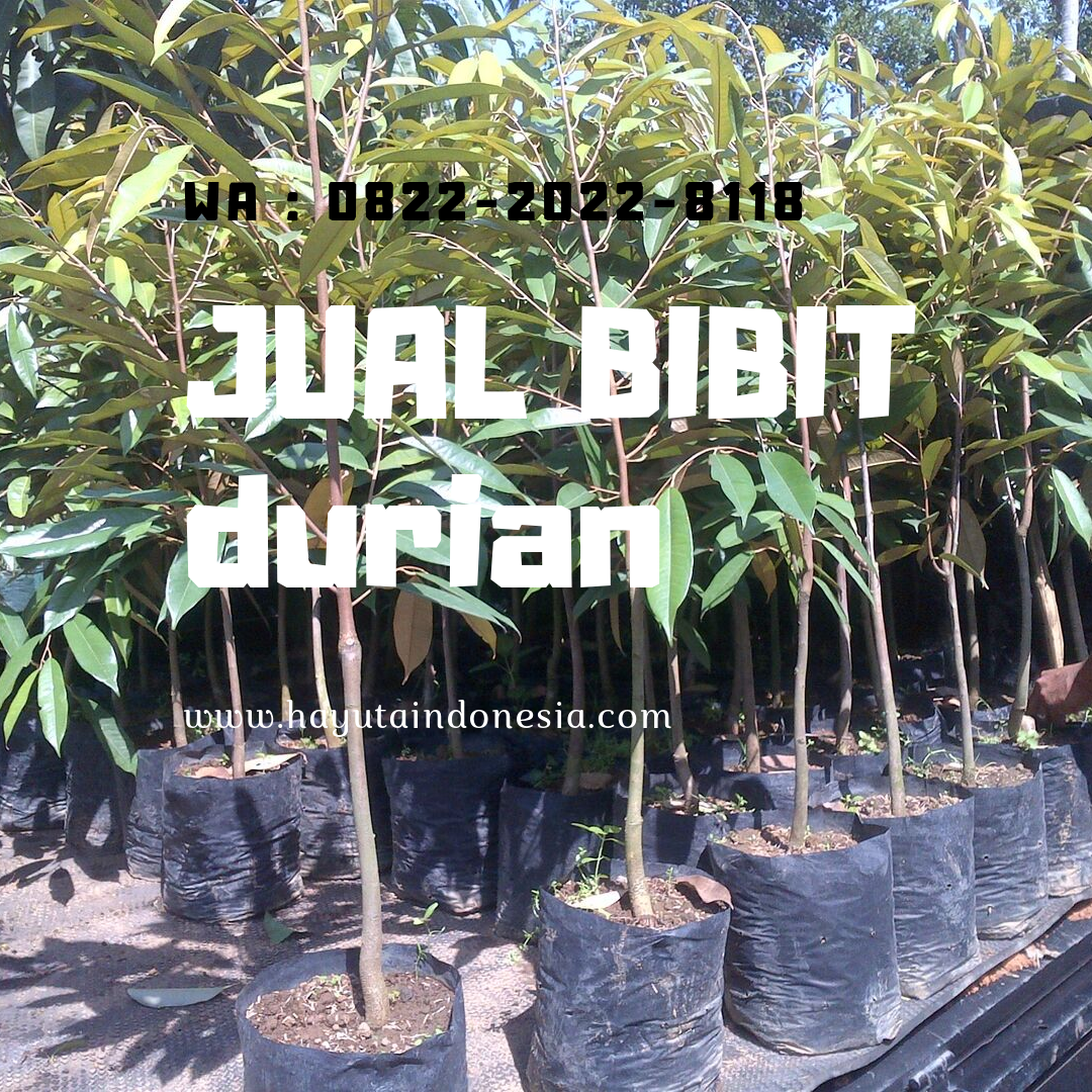 Paling Dicari Wa 0822 2022 8118 Jual Bibit Durian Merah Jogja Ke Palembang Harga Bibit Durian Musang Pelangi Gajah