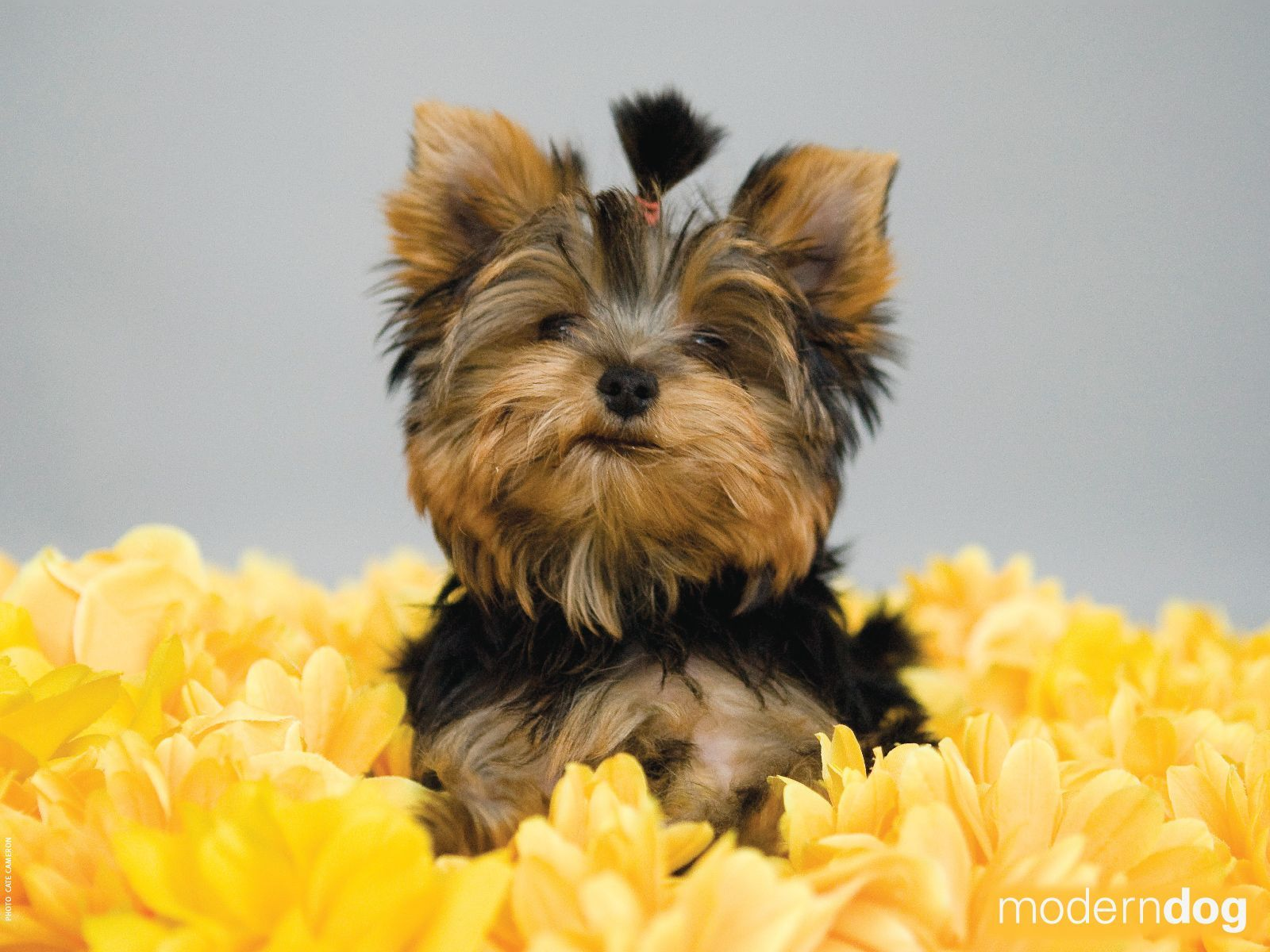 Pitter Patter Of Little Girl Dog Dogs Pets Puppy Puppies Dog Pic Picture Pictures Pics Yorkshire Terrier Girl And Dog Puppy Wallpaper