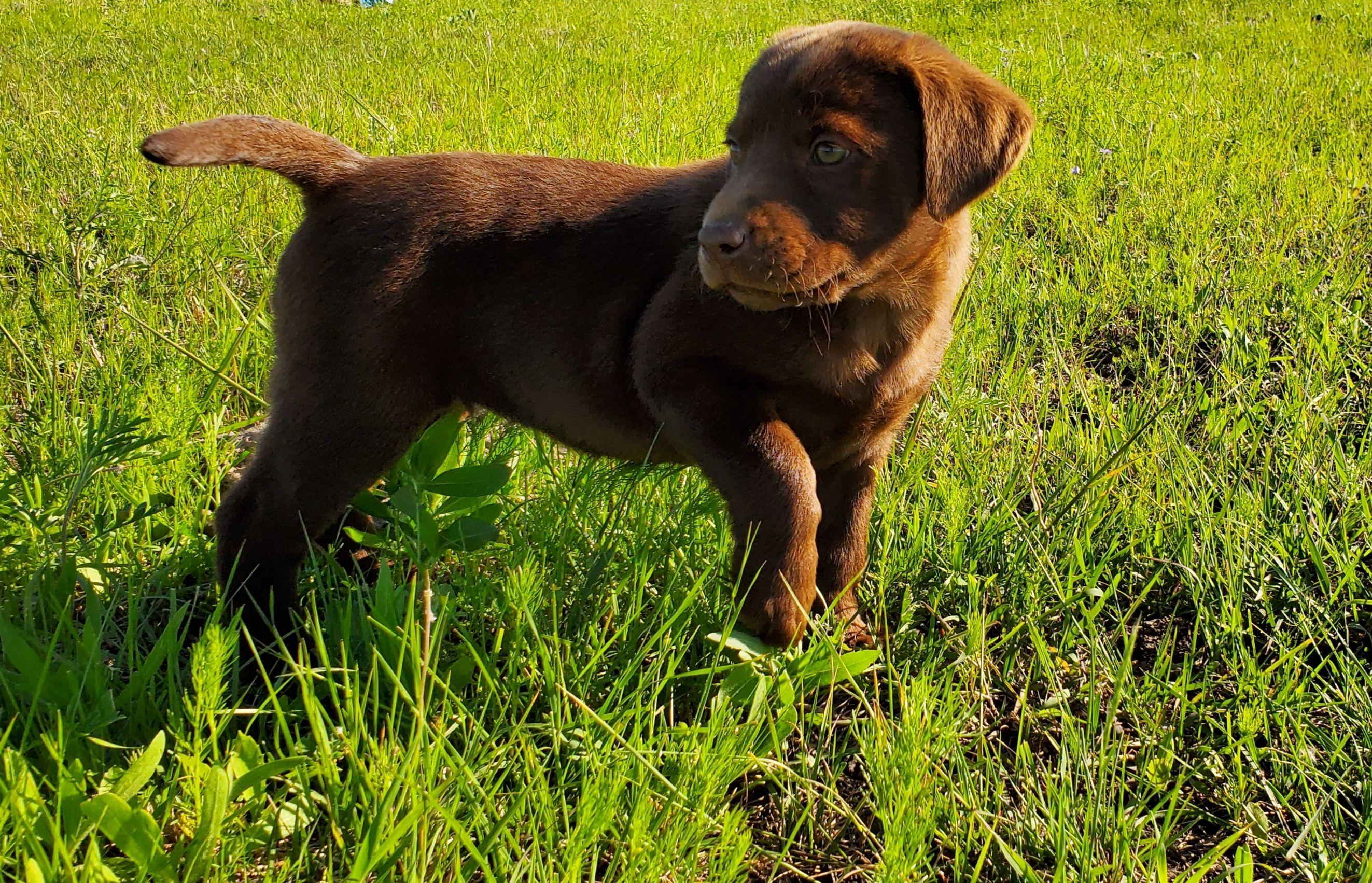 Coco Male AKC Labrador Retriever puppy for sale in Godley