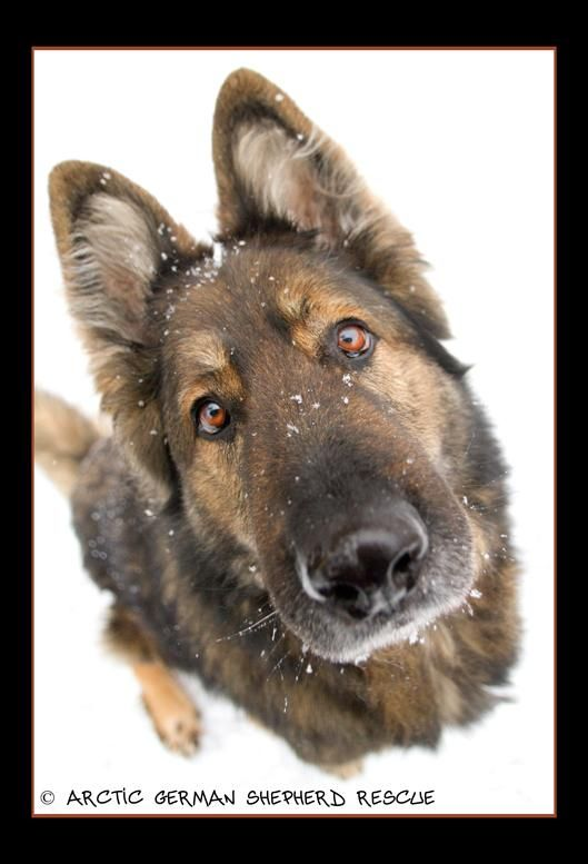 Adopt Zuni Sanctuary Dog On Shepherd Dog Mix Pets Dog Love