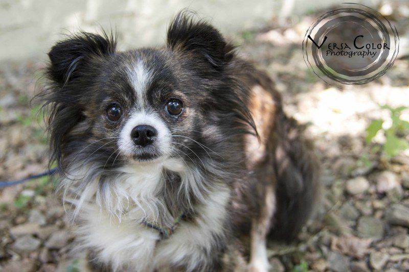 Adopt Missy On Petfinder Chihuahua Dogs Saint Louis Park Pet Adoption