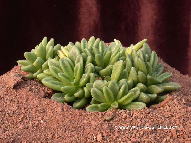 adromischus humilis succulents pinterest cactus plantes grasses et plantes. Black Bedroom Furniture Sets. Home Design Ideas