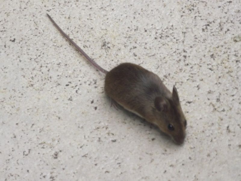 Little Gray Mouse With Short Tail Dals Wildlife Site Of Northern England
