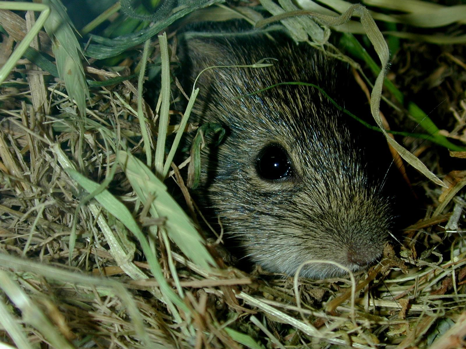 A Hispid Cotton Rat. These native Texas rats usually inhabit areas with tall grass where they dig underground burrows. They feed on plant materials.