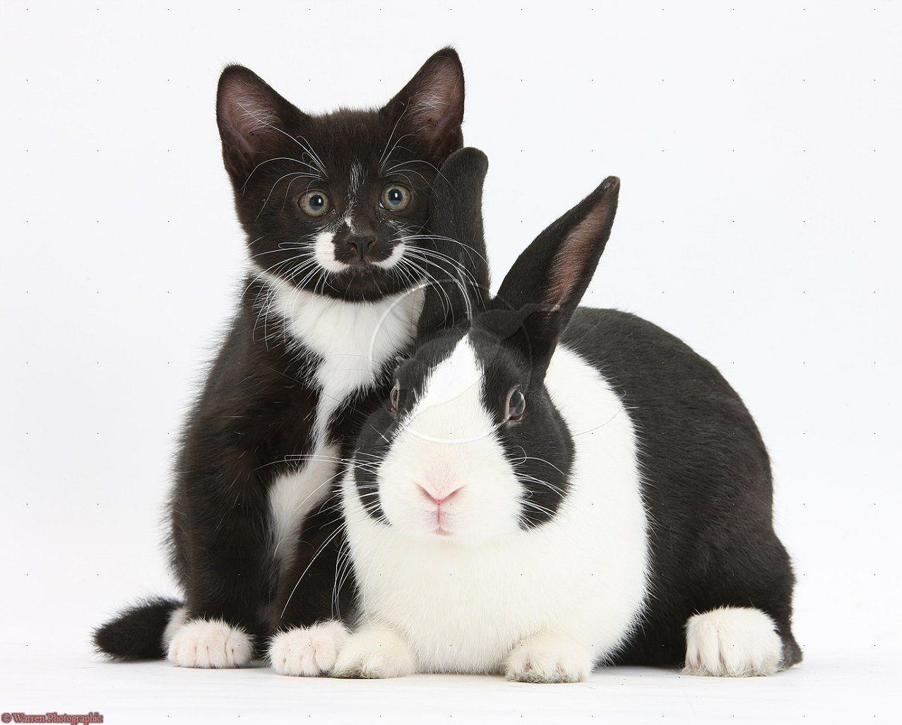 Black And White Kitten With Dutch Rabbit Black And White Kittens Dutch Rabbit Cute Animals