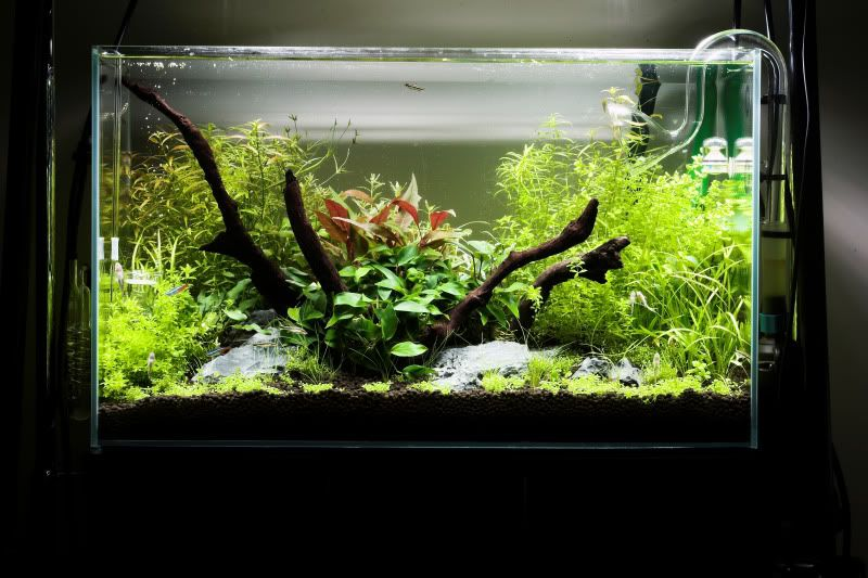 Nature style aquascaping with driftwood focus | Aquascape ...