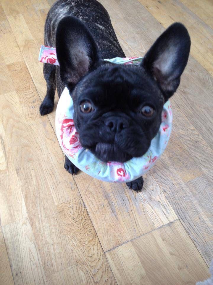 Funny Face French Bulldog Puppy Bulldog French Bulldog