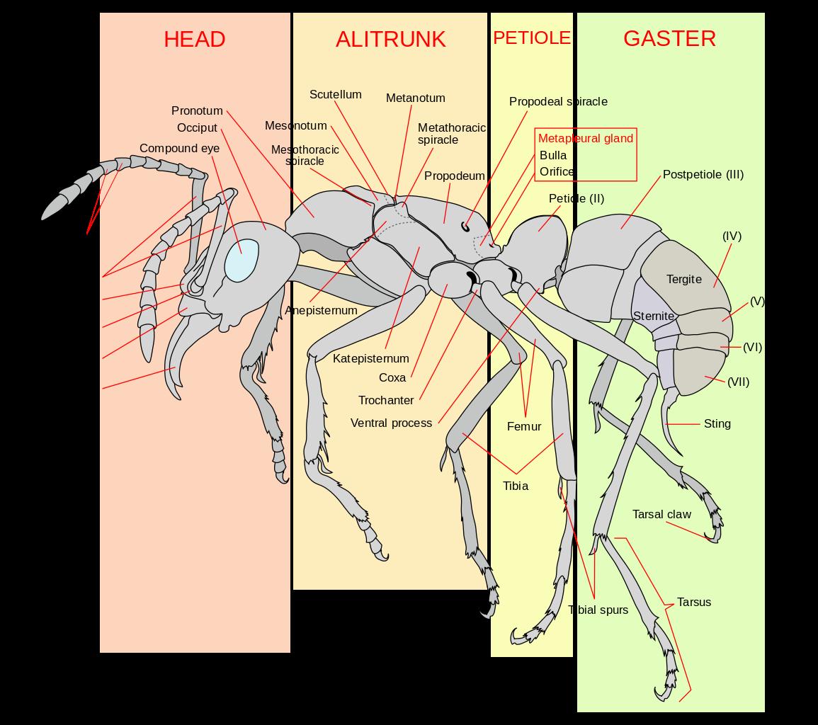 1155px-Scheme_ant_worker_anatomy-en.svg.png (1155×1024) | Ant ...