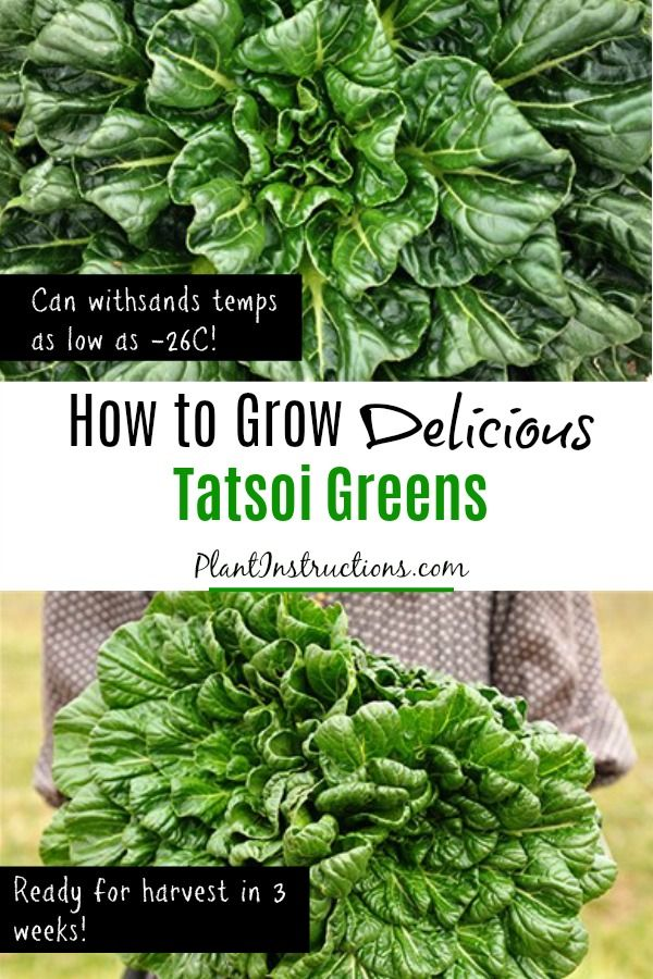 How To Grow Tatsoi Greens Vegetable Garden Planting