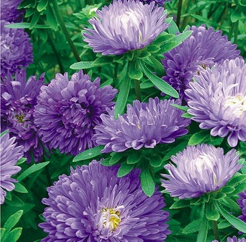 Blue beauty China aster seeds Flowers large Family four