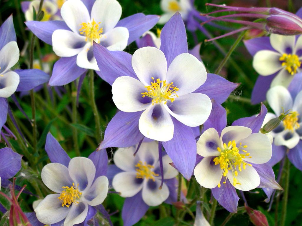 Name morgan wallpaper related keywords suggestions name morgan for the front of the garden rail columbine blues yellows and white izmirmasajfo Images