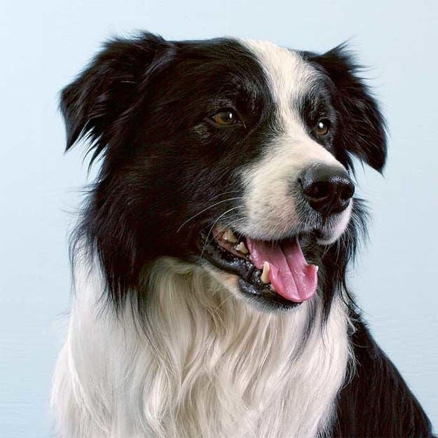 Choose Some Food And We Ll Tell You Which Dog Breed You Should Adopt Collie Dog Border Collie Facts Dog Breeds