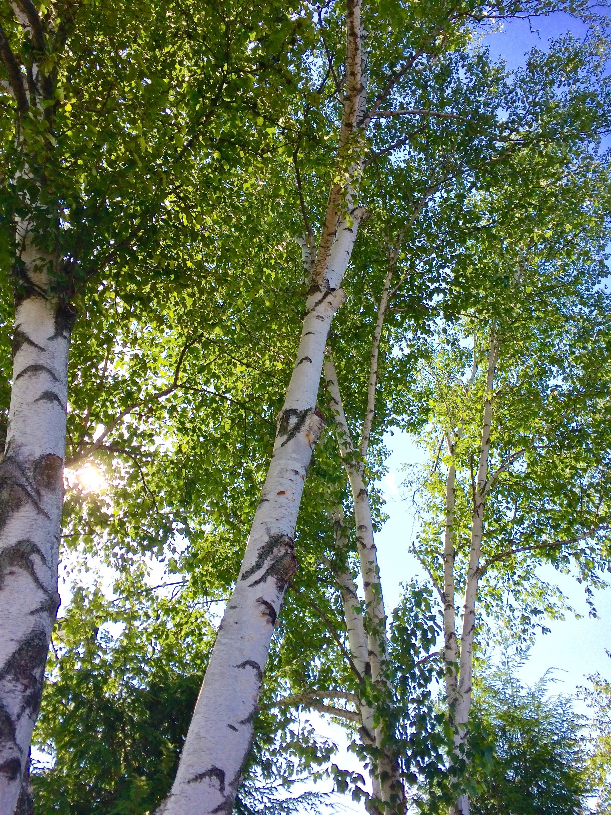 White Birch Tree With Blue Sky And Sun Shining Brightly Through The