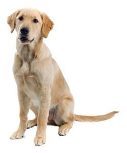 Golden Retriever Labrador Retriever Mix Golden Retriever