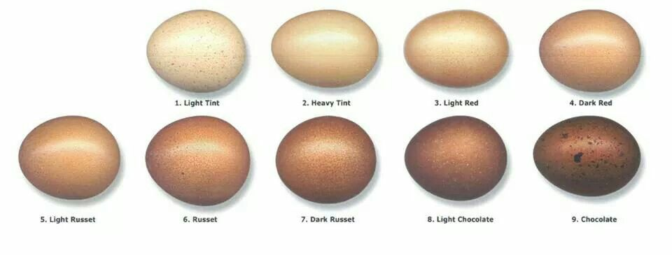 Egg Color Chart Killah B Crowin Maran Chickens Eggs Chicken